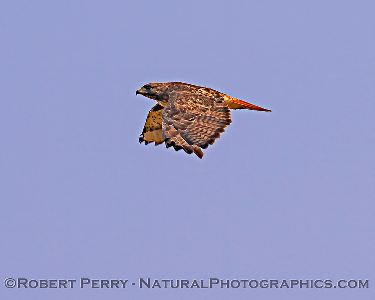 Buteo jamaicensis in flight WOW 2020 08-21 Yolo By-Pass--001
