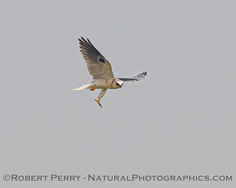 Elanus leucurus White-tailed kite in flight 2020 08-21 Yolo By-Pass-c-035