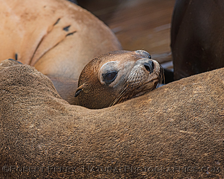 Zalophus californianus mass group on dock 2020 08-24 Morro Bay-016