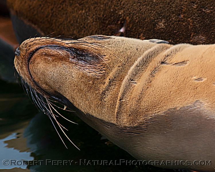Zalophus californianus mass group on dock 2020 08-24 Morro Bay-013
