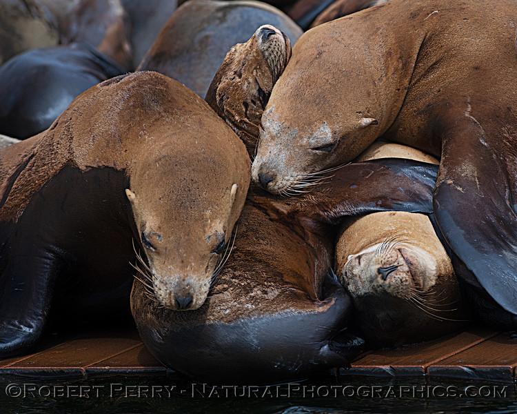 Zalophus californianus mass group on dock 2020 08-24 Morro Bay-043