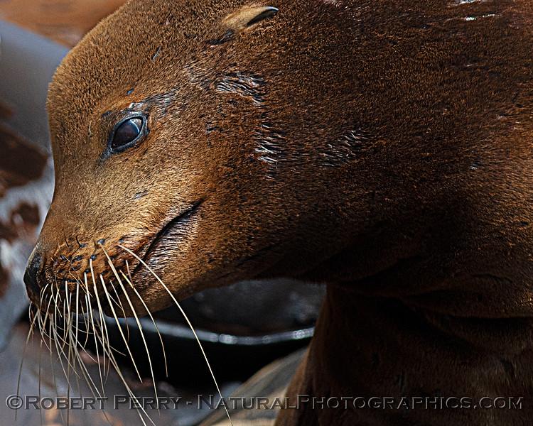 Zalophus californianus mass group on dock 2020 08-24 Morro Bay-112