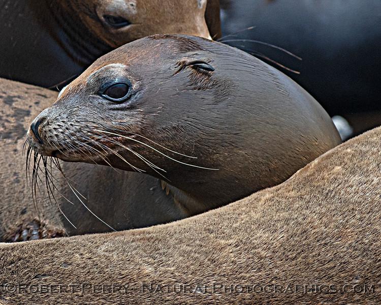 Zalophus californianus mass group on dock 2020 08-24 Morro Bay-068