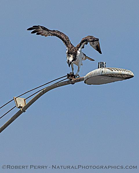 Pandion haliaetus 2020 08-24 Morro Bay-b-024