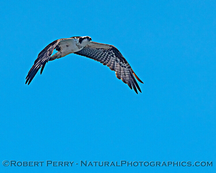 Pandion haliaetus in flight 2020 08-24 Morro Bay-b-070
