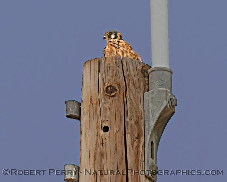 Kestrel high atop a telephone pole