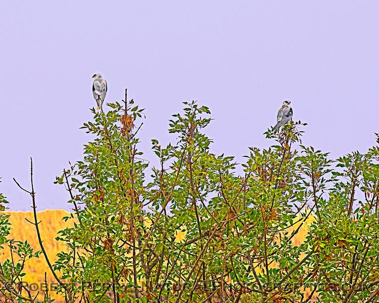 A pair of White-tailed kites