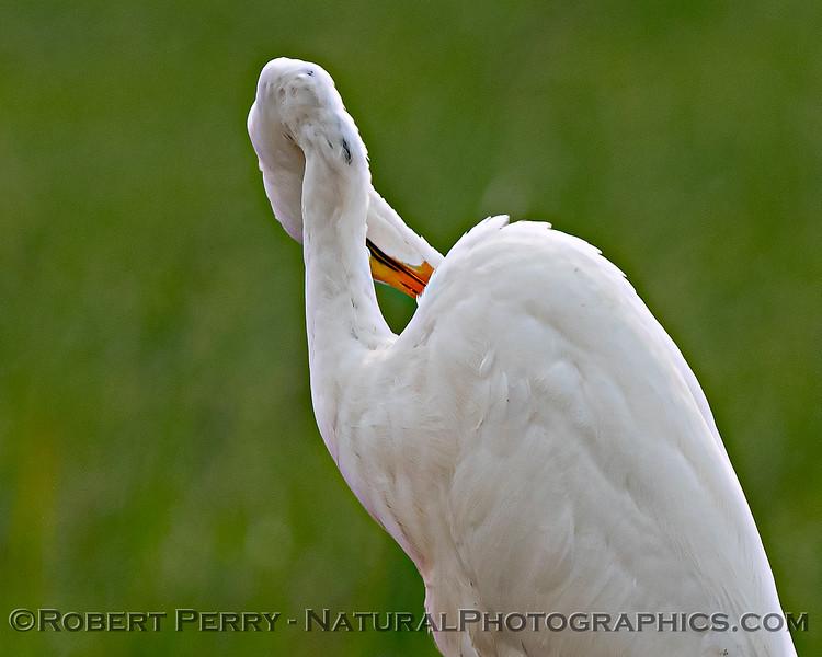 Pretzel - great white egret