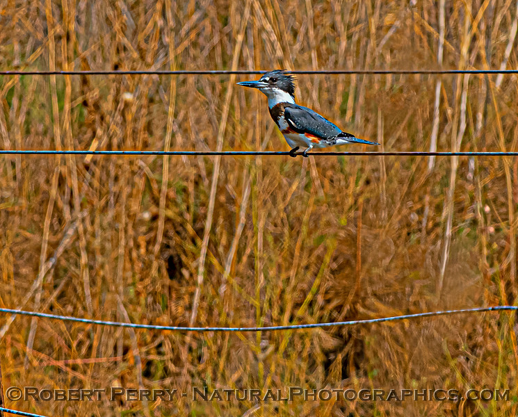 Megaceryle alcyon Belted kingfisher 2020 09-16 Yolo ByPass-026