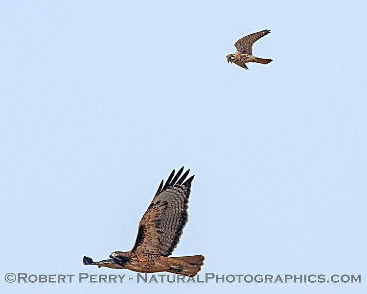 Red-tailed hawk being attacked by a kestrel