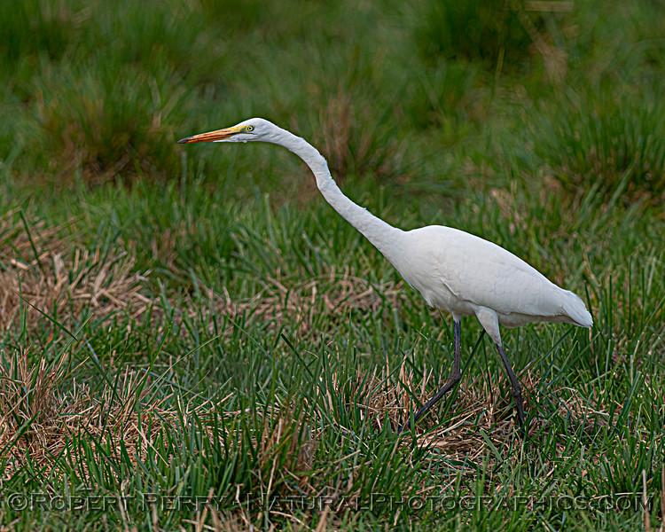 Great egret, seemingly frozen in place as it eyes its prey