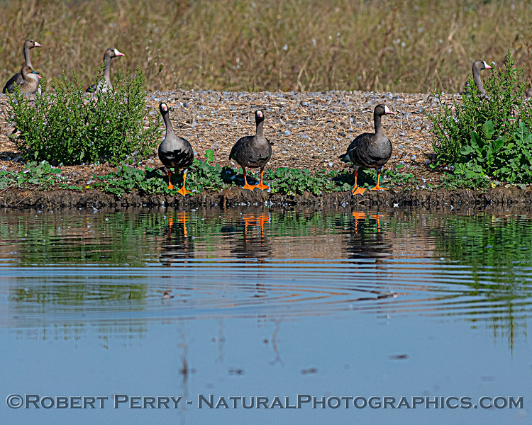 Greater white-fronted geese, the first of several goose species to arrive during the annual migration.