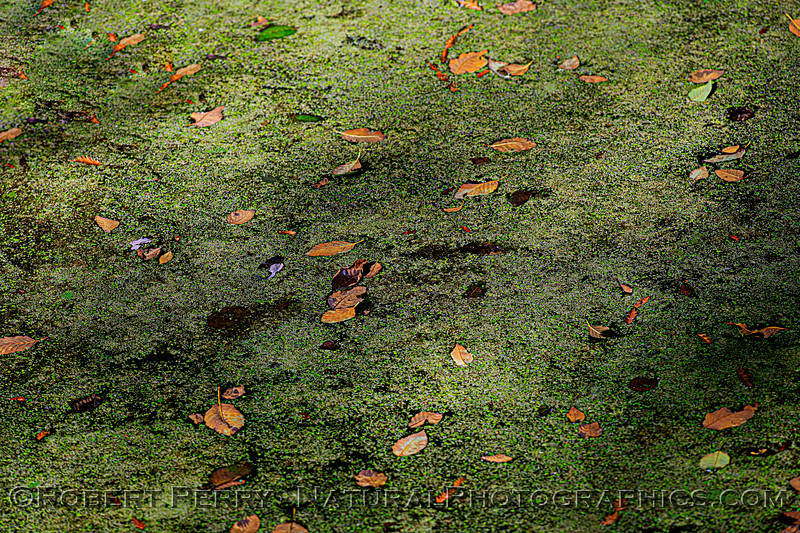 leaves on green algae background surface of Pudding Creek BIG FILE 2020 10-21 Ft Bragg-029