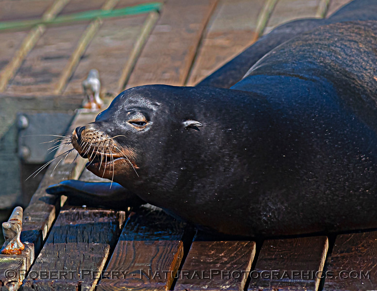 Zalophus californianus adult males on dock 2020 10-22 Noyo Harbor-181