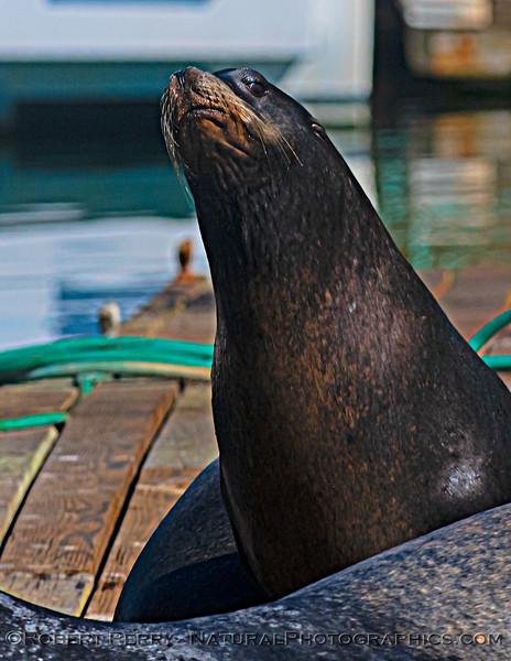 Zalophus californianus adult males on dock 2020 10-22 Noyo Harbor-073