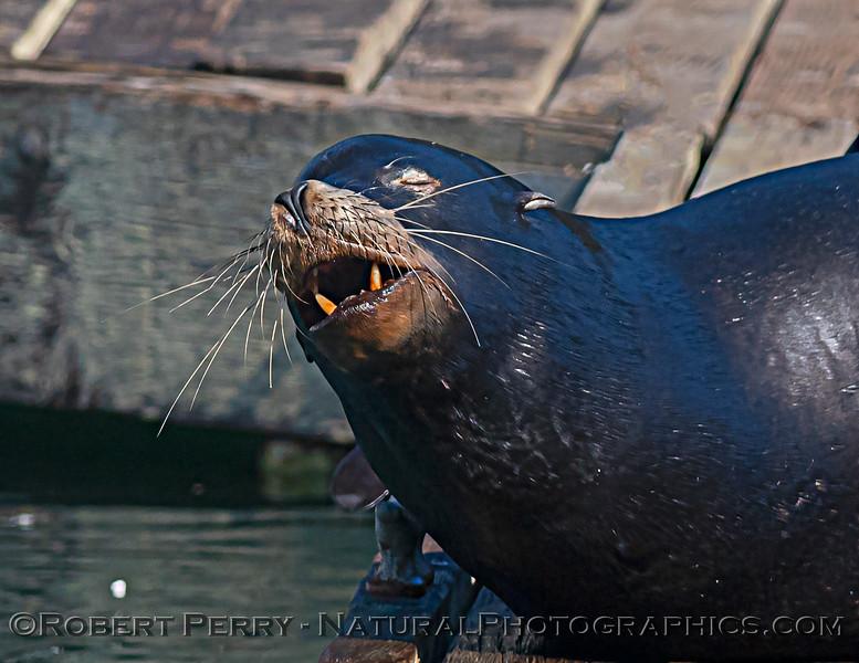 Zalophus californianus adult males on dock 2020 10-22 Noyo Harbor-018