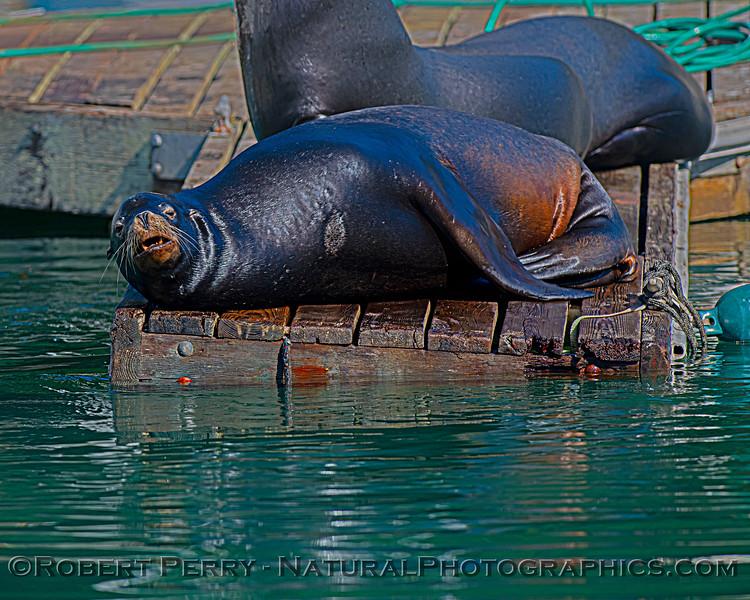 Zalophus californianus adult males on dock 2020 10-22 Noyo Harbor-048