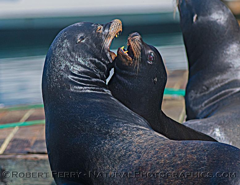 Zalophus californianus adult males on dock 2020 10-22 Noyo Harbor-145