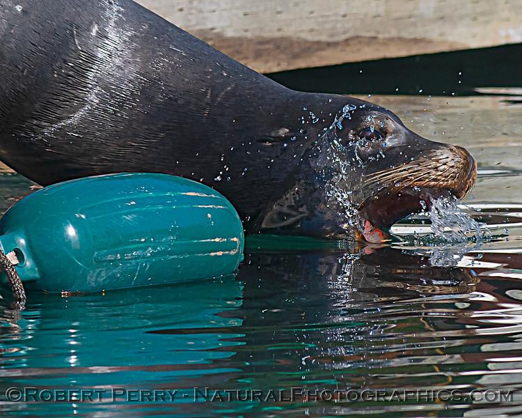 Zalophus californianus adult males on dock 2020 10-22 Noyo Harbor-024
