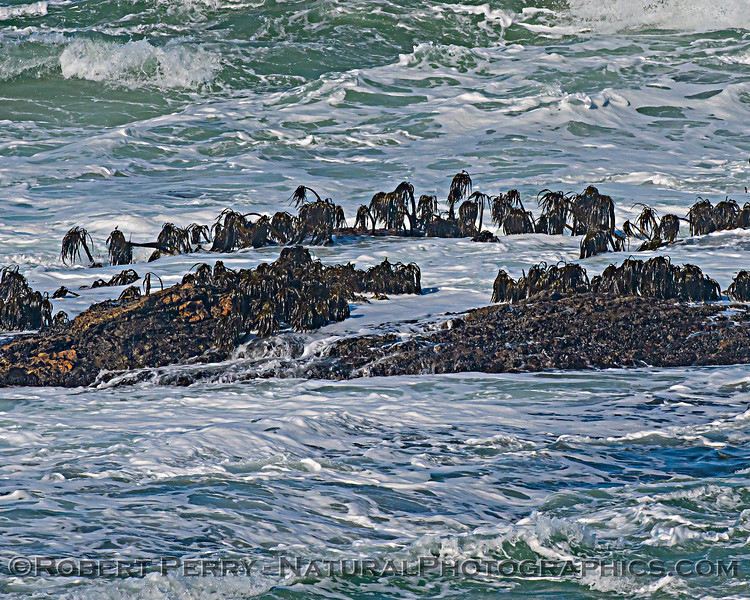 Postelsia palmaeformis Sea Palms on intertidal rock ledge 2020 10-22 Pt Arena-013