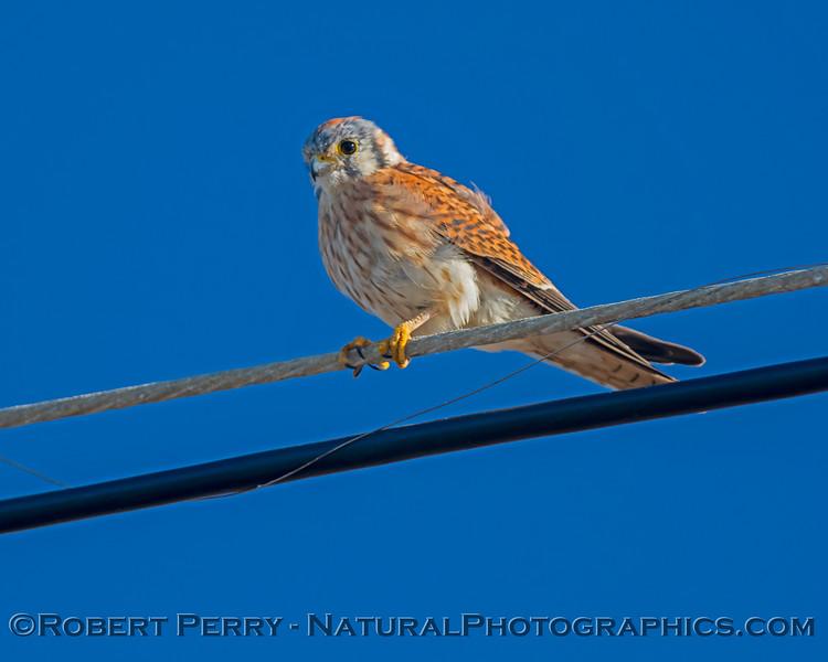 Falco sparverius Kestrel 2020 10-22 Pt Arena-118