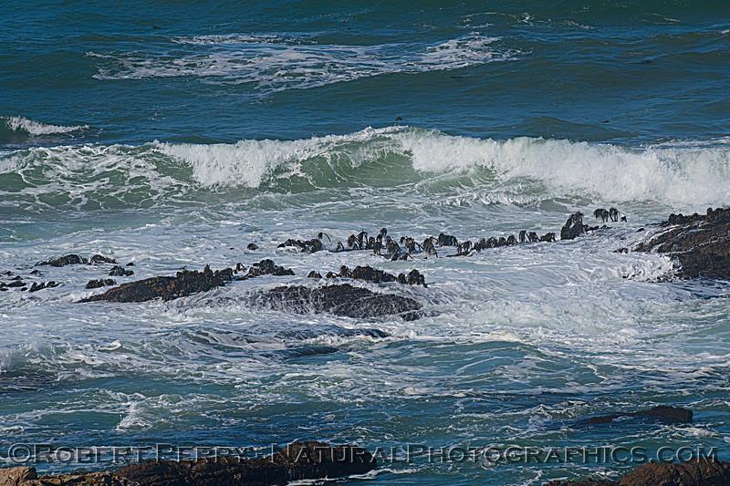 Postelsia palmaeformis Sea Palms on intertidal rock ledge 2020 10-22 Pt Arena-020
