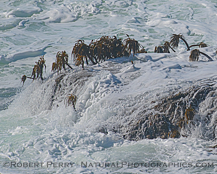 Postelsia palmaeformis Sea Palms on intertidal rock ledge 2020 10-22 Pt Arena-d-006