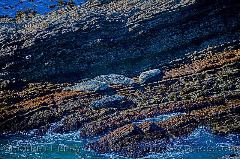 Phoca vitulina on rocky intertidal ledge BIG FILE 2020 10-22 Pt Arena-c-003