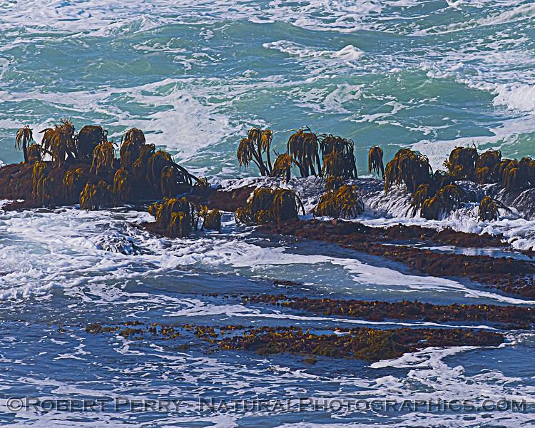 Postelsia palmaeformis Sea Palms on intertidal rock ledge 2020 10-22 Pt Arena-003