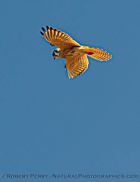 Falco sparverius Kestrel 2020 10-22 Pt Arena-163