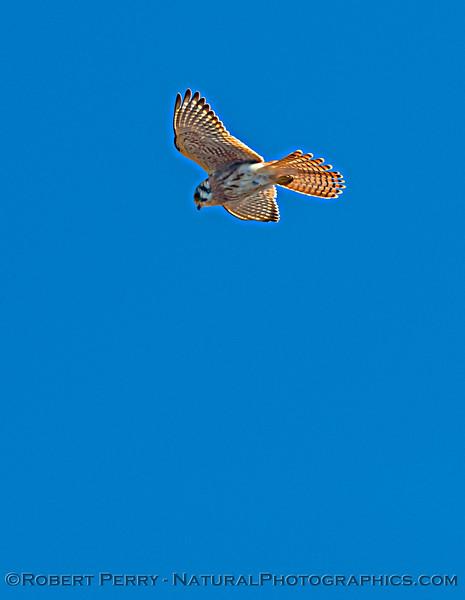 Falco sparverius Kestrel in flight 2020 10-22 Pt Arena-159