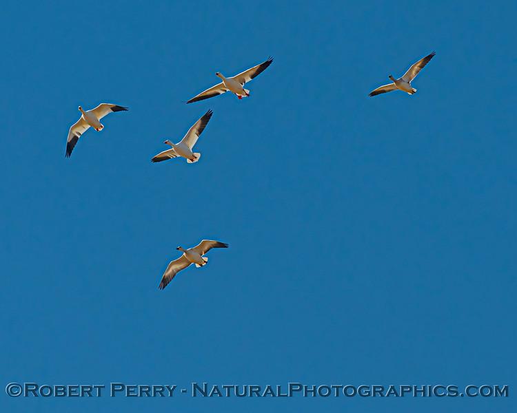 Chen caerulescens in flight 2020 10-29 Llano Seco-b-017