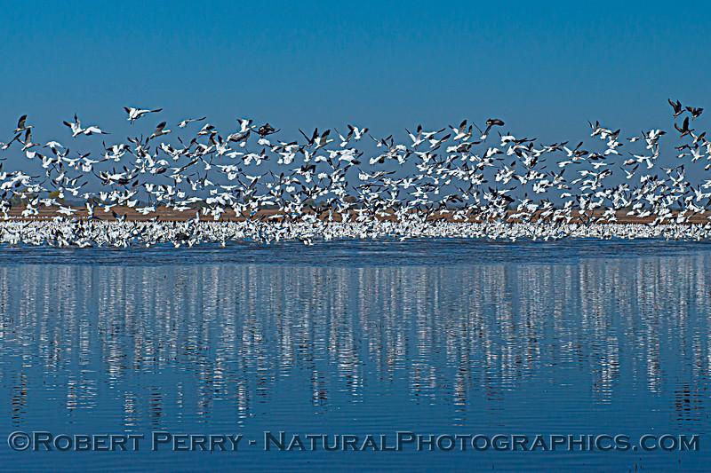 Chen caerulescens massive flocks 2020 10-29 Llano Seco-014