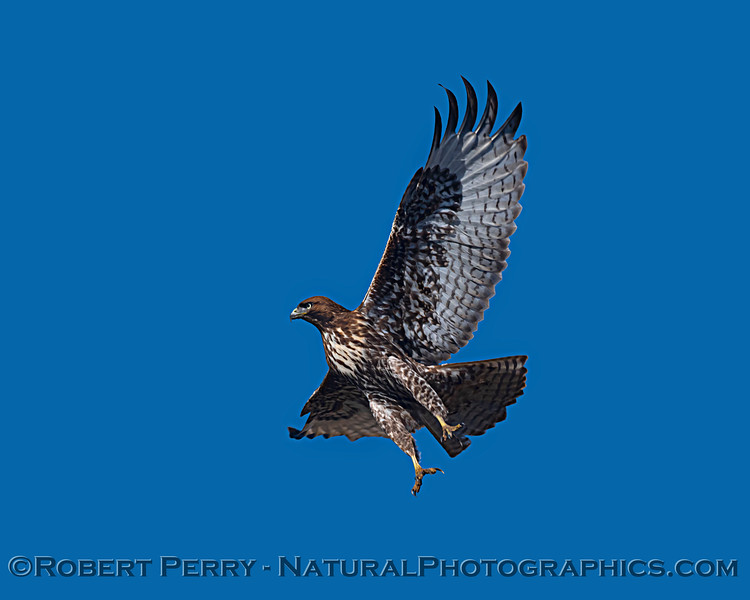 Red-tailed hawk takes flight.
