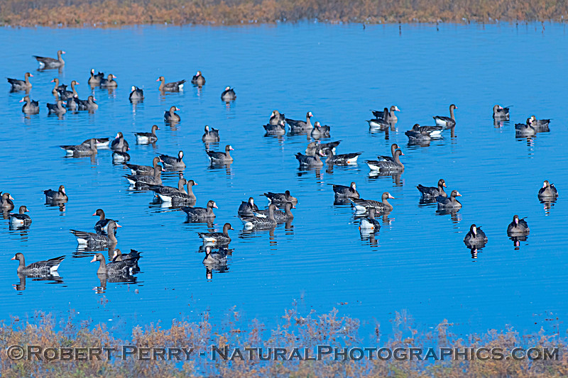 Anser albifrons in flight and landing in water 2020 10-29 Llano Seco-b-001