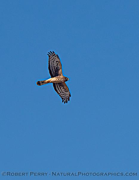 Circus hudsonius Northern harrier in flight 2020 11-04 Sac NWR-036