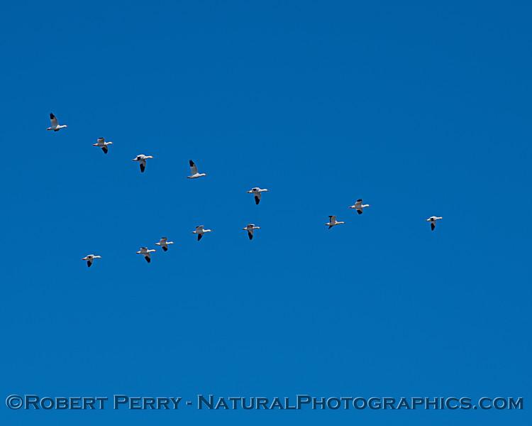 Chen caerulescens v-shaped flock in flight 2020 11-04 Sac NWR-054