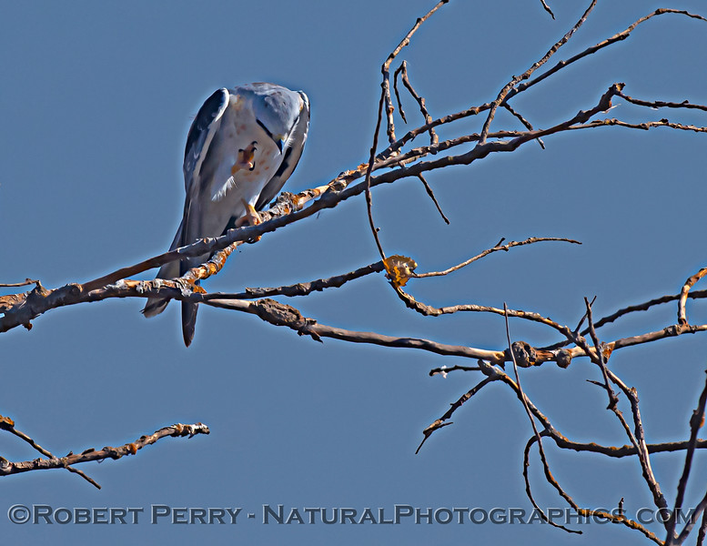 Elanus leucurus White-tailed kite 2020 11-04 Sac NWR-023