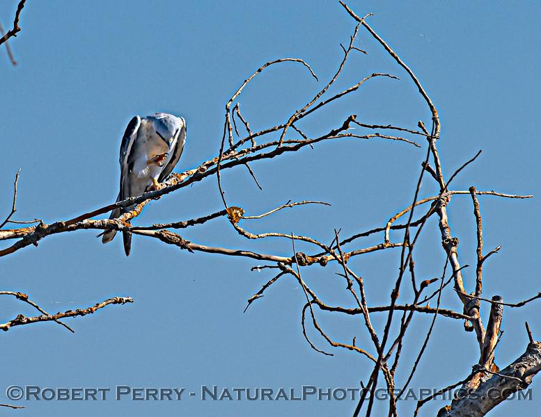 Elanus leucurus White-tailed kite 2020 11-04 Sac NWR-022