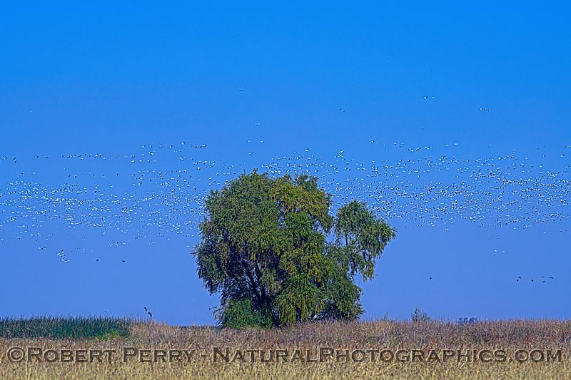 Chen caerulescens masses behind big tree 2020 11-04 Sac NWR-003