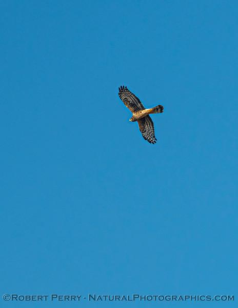 Circus hudsonius Northern harrier in flight 2020 11-04 Sac NWR-088