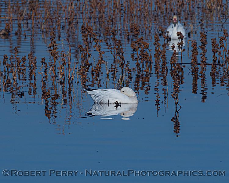Chen caerulescens 1 sleeping in pond 2020 11-04 Sac NWR-064