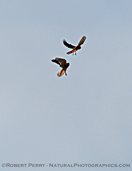 Falco sparverius TWO interacting in flight 2020 11-08 Meiss Rd-032