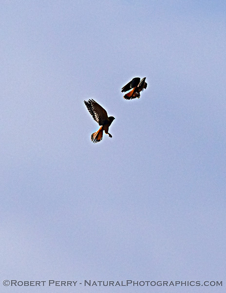 Falco sparverius TWO interacting in flight 2020 11-08 Meiss Rd-034
