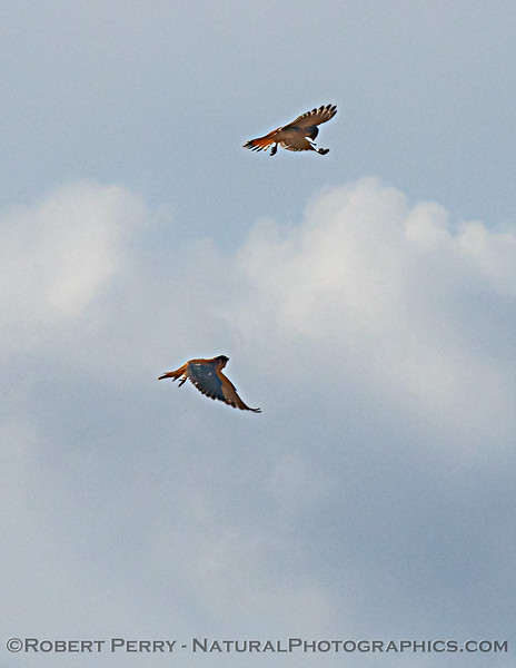 Falco sparverius TWO interacting in flight 2020 11-08 Meiss Rd-006