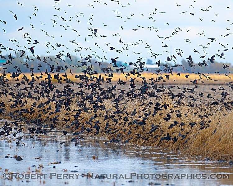 Agelaius phoeniceus Red-winged blackbird murmurations 2020 11-18 Yolo ByPass-063
