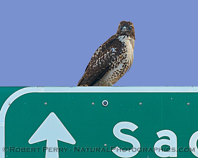 Buteo jamaicensis on Fwy sign 2020 11-18 Yolo ByPass-019