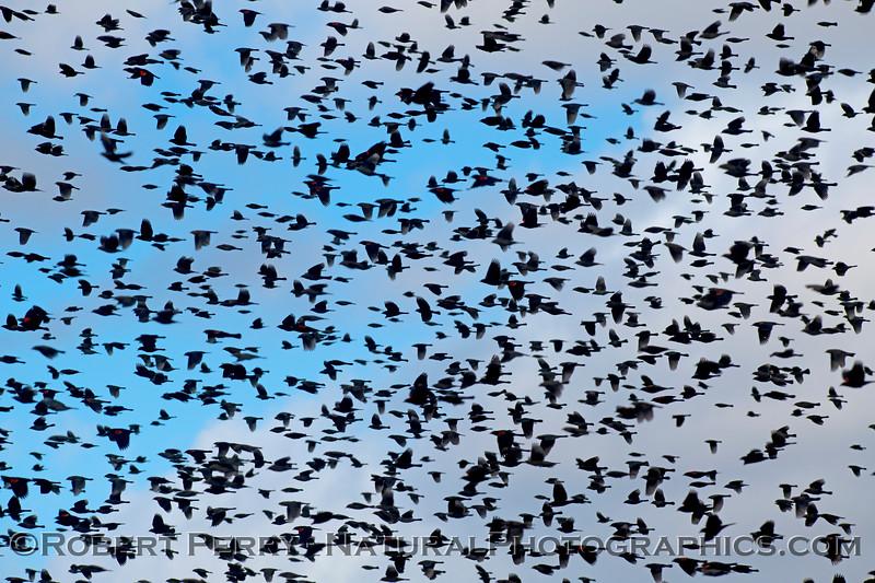 Agelaius phoeniceus Red-winged blackbird murmurations 2020 11-18 Yolo ByPass-092