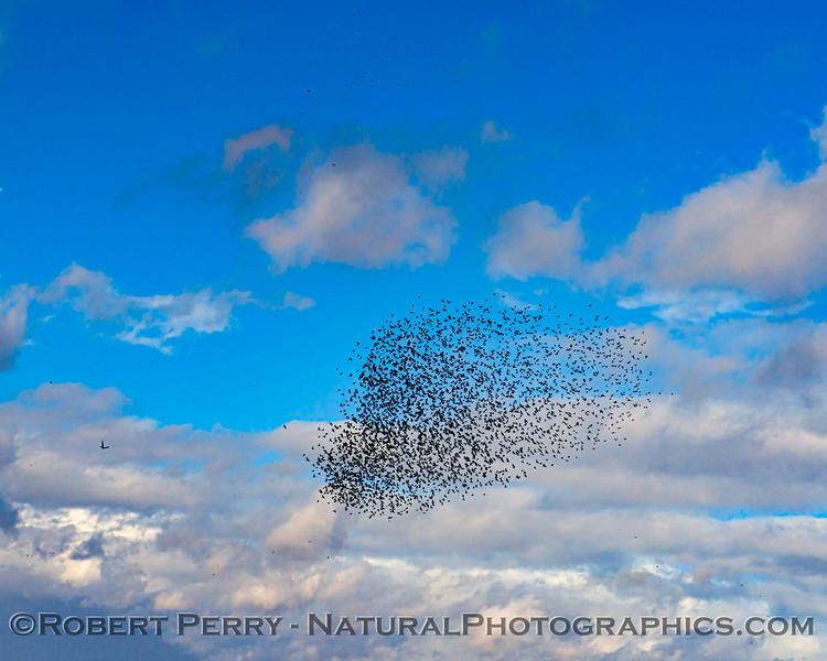 Agelaius phoeniceus Red-winged blackbird murmurations 2020 11-18 Yolo ByPass-b-091