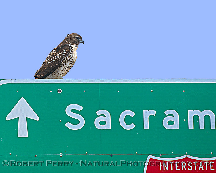 Buteo jamaicensis on Fwy sign 2020 11-18 Yolo ByPass-004